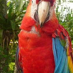 Parrot is ready for Manu