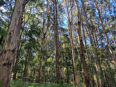 A landscape of trees in the Dandenong Ranges.